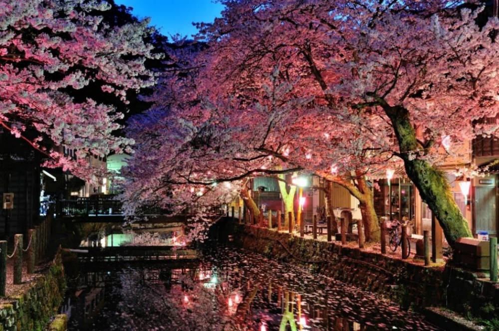 Sakura illuminated at night in Kinosaki